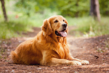 golden retriever sitting on path