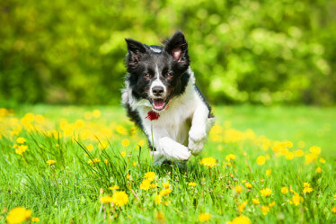 border collie running in meadow with flowers