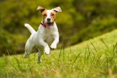 rat terrier in mid air running toward camera
