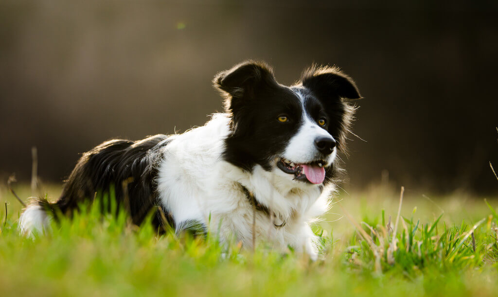 border collie laying in the grass