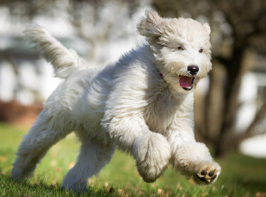 dog running happily