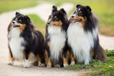 three shelties looking happy