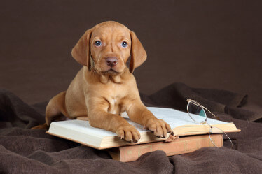 weimaraner puppy resting on book with reading glasses to side