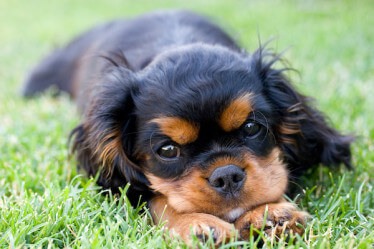 closeup of Cavelier King Charles Spaniel puppy laying in grass
