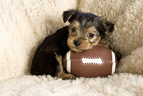 Yorkshire Terrier Puppy Einstein